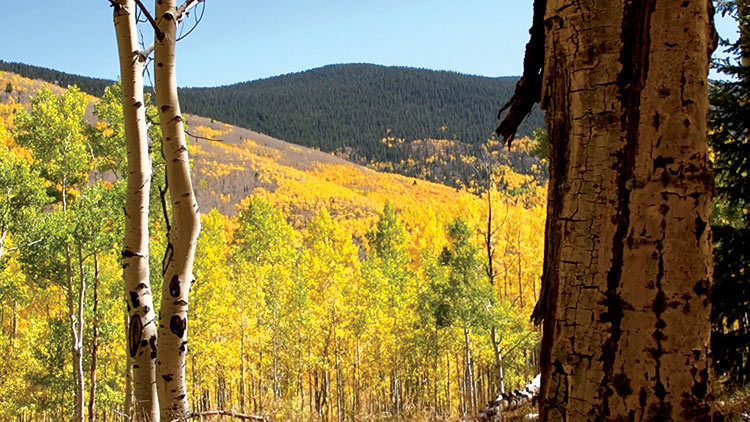 "The golden aspens of Aspen Vista trail in the Santa Fe National Forest, featured on ""Veritas, In the Land of Enchantment"" DVD and Blu-ray"